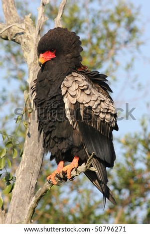 Bateleur - stock photo