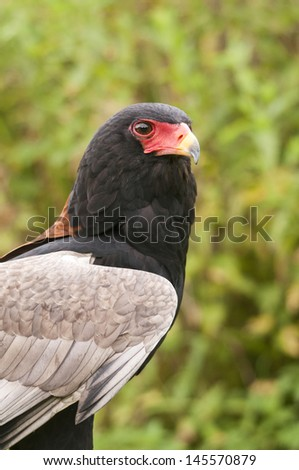 Bateleur Eagle - stock photo