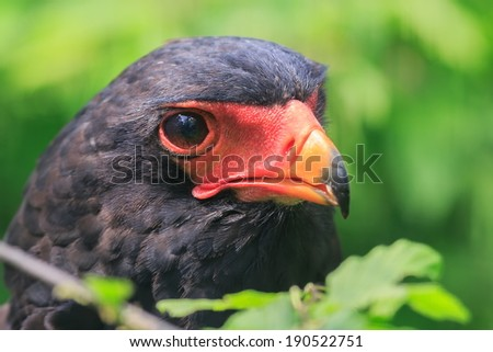 Bateleur Eagle close up - stock photo