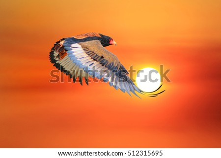 Bateleur Eagle Flight - African Wildlife Background - With the Golden Sun in Nature