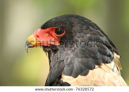 Bateleur Eagle, taken at the World Bird Sanctuary in Missouri. - stock photo