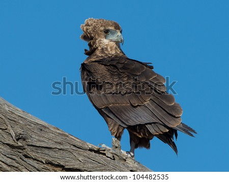 Bateleur on branch