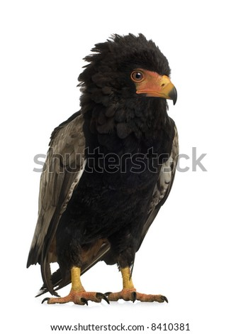 Bateleur (10 years) Terathopius ecaudatus - in front of a white background