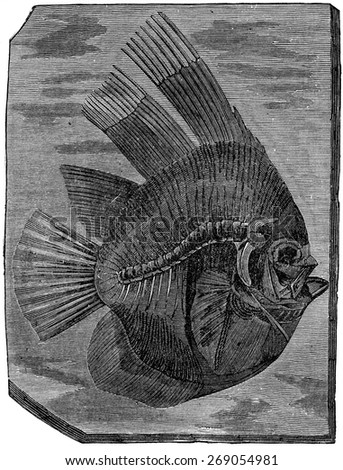 Batfish altissimus, The fish of the Eocene period, vintage engraved illustration. Earth before man  1886. - stock photo