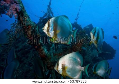 Batfish school - stock photo