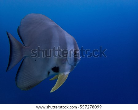 Batfish swimming by on a blue background