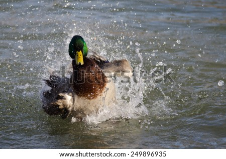 Bath Day for the Mallard Duck