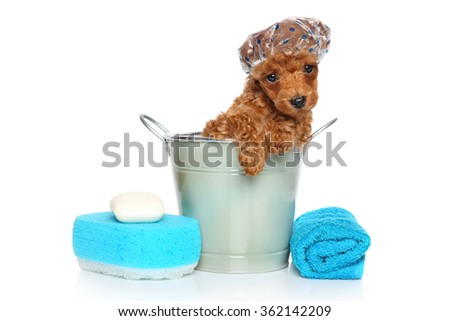 Bath theme. Red Toy Poodle puppy in front of white background - stock photo