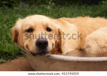 Bath time for a Golden Retriever Dog - stock photo