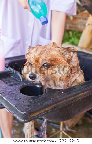 Bath time for brown pomeranian shower in garden - stock photo