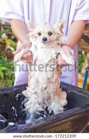 Bath time for white pomeranian shower in garden - stock photo