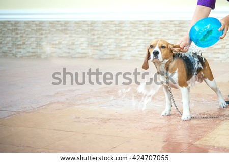 bathing beagle dog