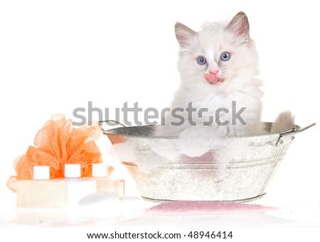 Bathing Ragdoll kitten on white background - stock photo