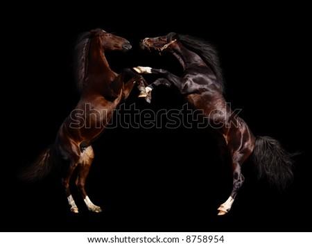 battle of horses - isolated on black - stock photo