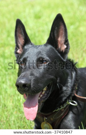 Bavarian born and bred German shepard working canine police dog - stock photo