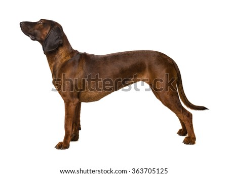bavarian mountain hound on white - stock photo