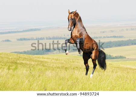 Bay akhal-teke horse stallion rearing on the field - stock photo
