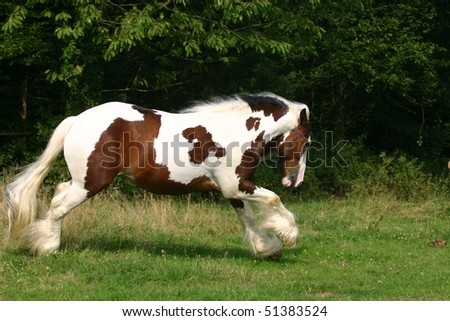 bay and white stallion in the spring - stock photo