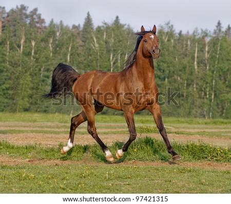 bay arab horse runs free - stock photo