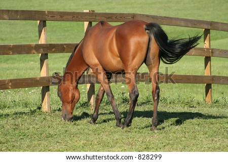 Bay Arabian horse, leisurely grazing in the green pasture, swishing flies away with tail. - stock photo