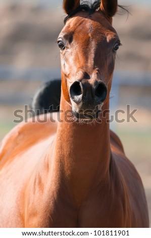 Bay arabian horse runs front, close-up portrait - stock photo