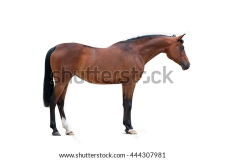 bay arabian mare isolated over a white background - stock photo