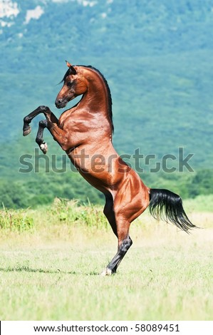 bay arabian stallion rearing - stock photo