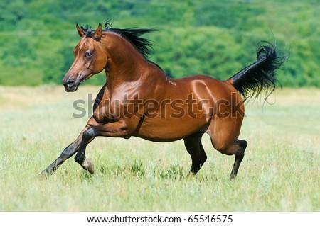 bay arabian stallion runs gallop - stock photo