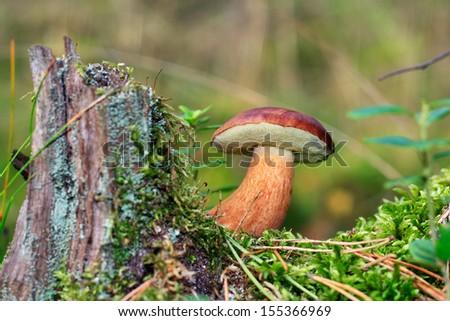 bay bolete [Boletus badius, Xerocomus badius] - stock photo
