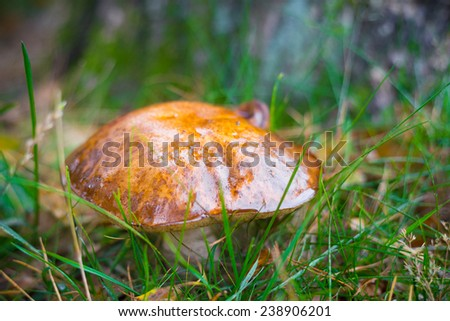 Bay bolete or Boletus badius growing between grass - stock photo