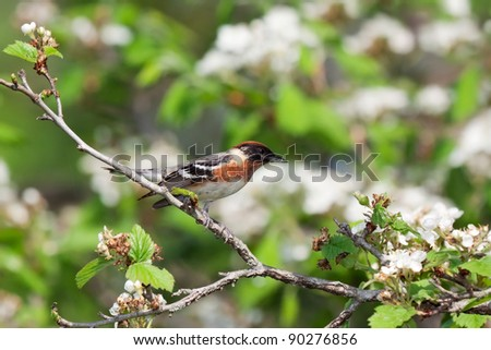 bay-breasted warbler prepares for flight from an apple tree. tree is in bloom with white flowers. background consists of shallow focus of  leaf greens and tree browns. - stock photo