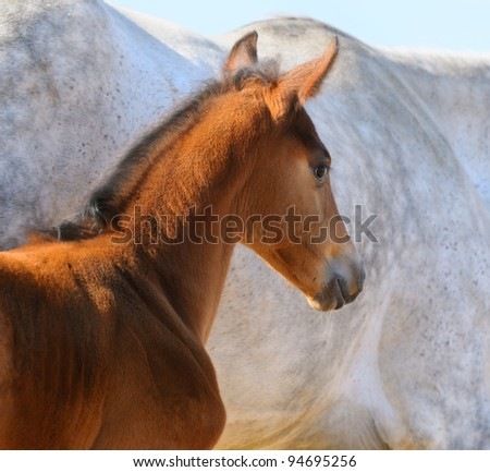 Bay foal on background of gray mare - stock photo