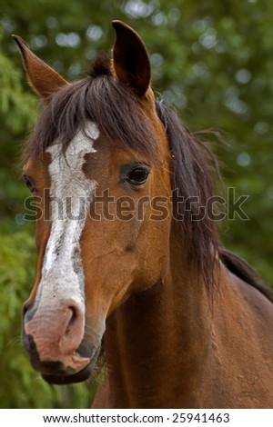 Bay horse front view with green foliage in background - stock photo