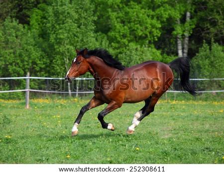 Bay horse galloping through pasture along fence  - stock photo