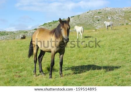 bay horse in highland of Mavrovo National Park, Republic Of Macedonia - stock photo