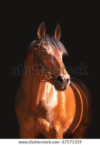 bay horse isolated on black - stock photo