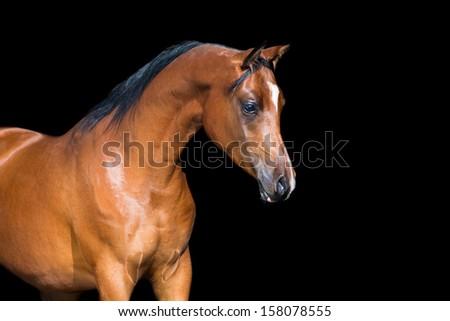 Bay horse isolated on black background, Arabian horse. - stock photo