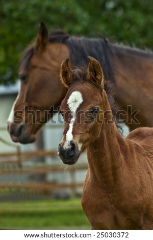 Bay horse mare and her baby foal. - stock photo