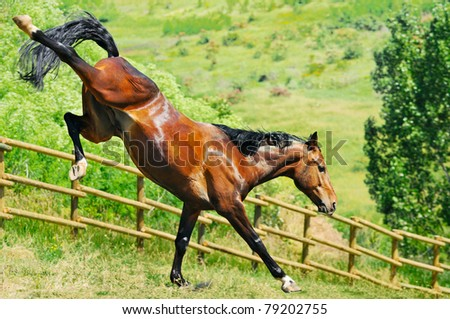 Bay horse playing - stock photo