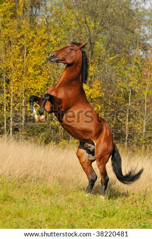 bay horse playing on grass in autumn