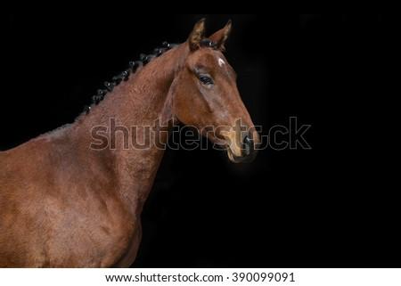 Bay horse portrait on black background - stock photo
