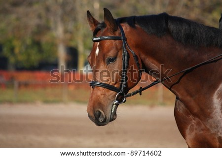Bay horse portrait with bridle - stock photo