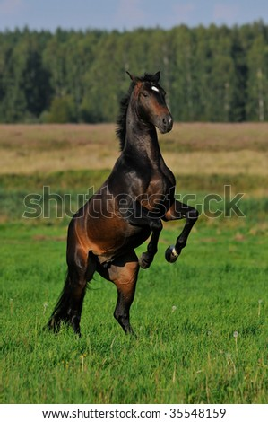 bay horse rears in the meadow - stock photo
