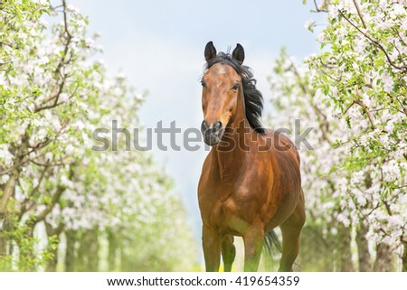 Bay horse running in a blooming garden. - stock photo
