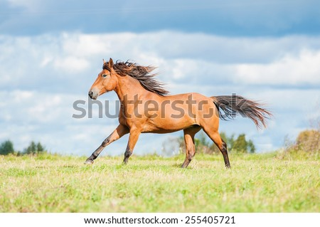 Bay horse running on the pasture in summer - stock photo