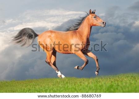 bay horse runs free - stock photo
