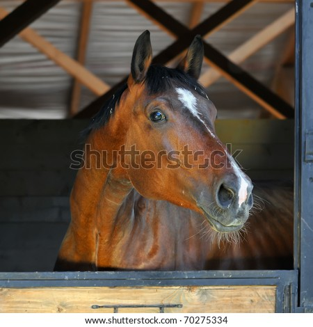 bay horse stallion in stable - stock photo