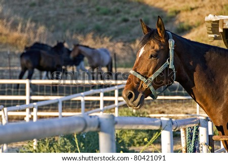 Bay Horse waiting to be let out of turnout in evening light