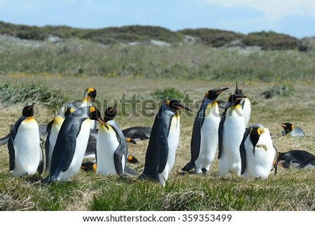 BAY INUTIL, CHILE - NOVEMBER 12,2014:King penguins on the Bay of Inutil.