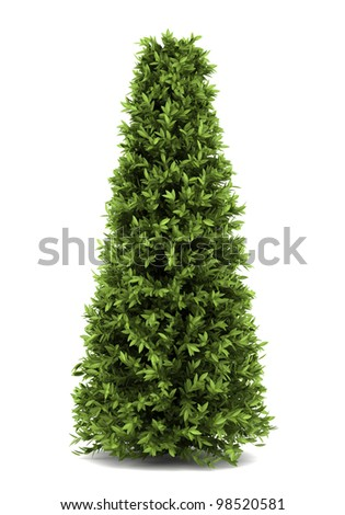 bay laurel bush isolated on white background - stock photo